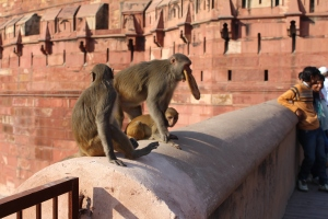 Thieving monkeys at Agra Fort. Check out the naan bread in the mouth.